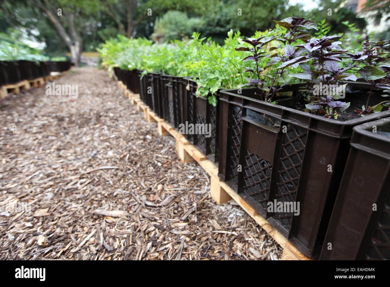 Verde y violeta de albahaca y otras verduras cultivadas en planta de cajas en un proyecto de horticultura urbana Foto de stock