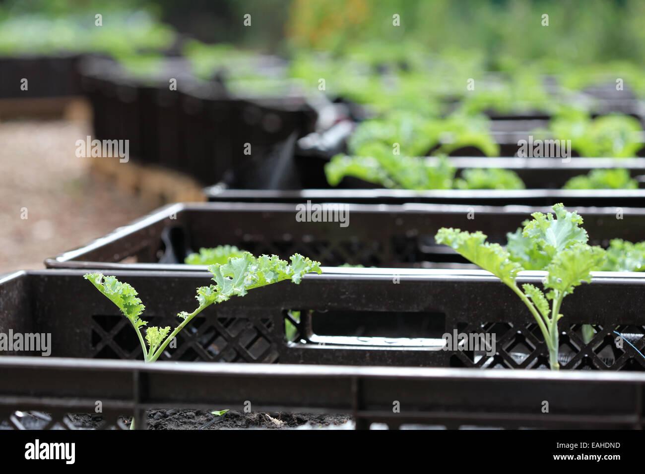 Close-up de la col rizada plántulas cultivadas en planta de cajas en un proyecto de horticultura urbana en Alemania Foto de stock