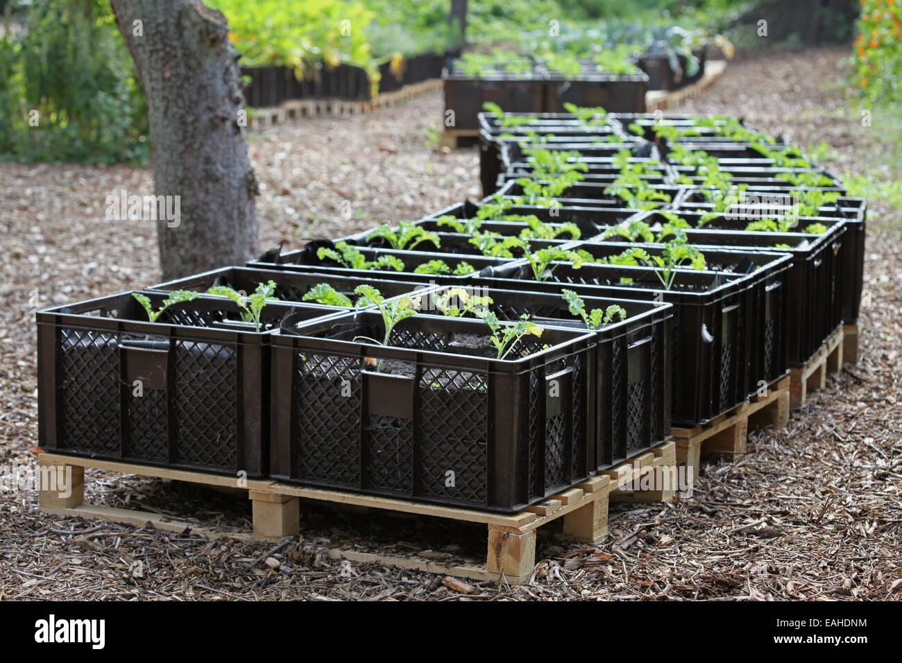 Col rizada de plántulas cultivadas en planta de cajas en un proyecto de horticultura urbana en Alemania Imagen De Stock
