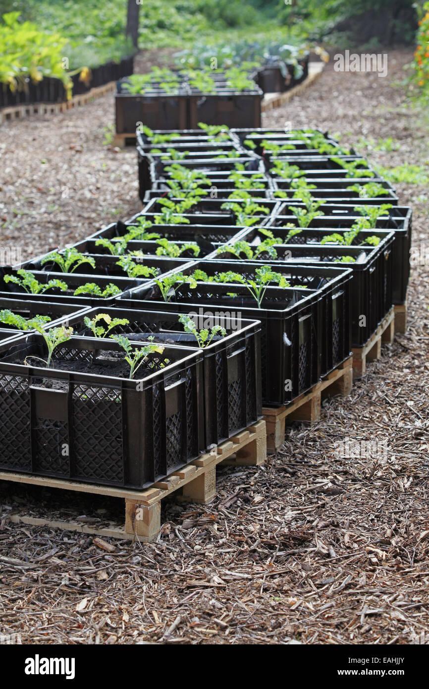 Col rizada de plántulas cultivadas en planta de cajas en un proyecto de horticultura urbana en Alemania Foto de stock