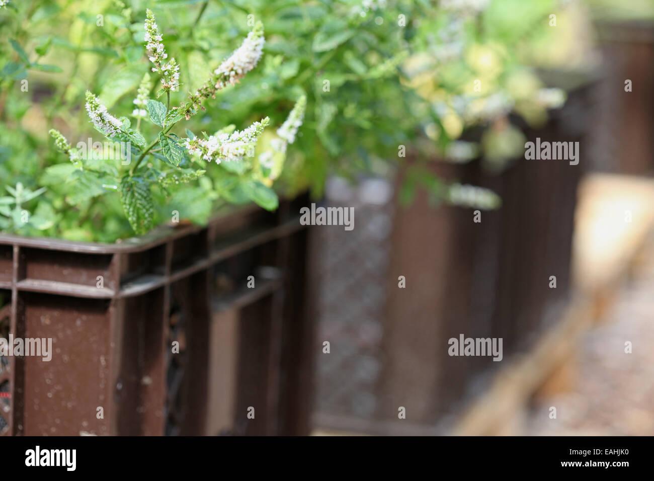 Menta marroquí de plantas cultivadas en cajas en un proyecto de horticultura urbana en Alemania Foto de stock
