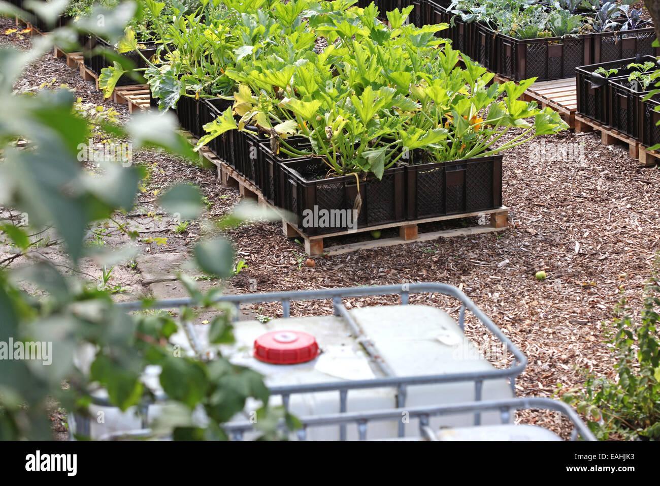 Calabacín y otras verduras cultivadas en planta de cajas en un proyecto de horticultura urbana en Alemania Foto de stock