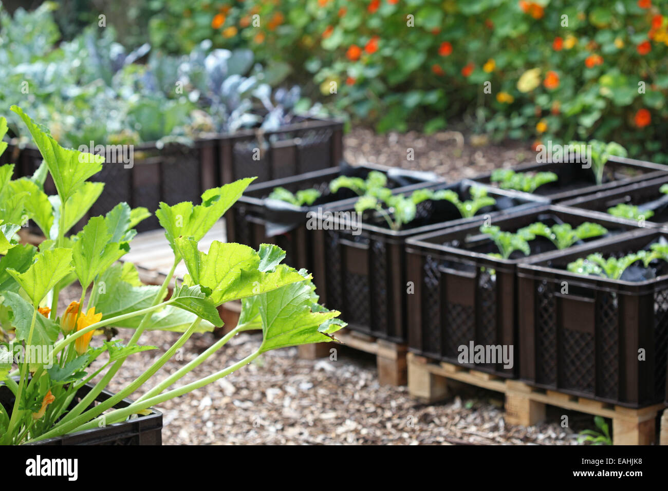 Rizado el calabacín, la col rizada y otras verduras cultivadas en planta de cajas en un proyecto de horticultura Foto de stock