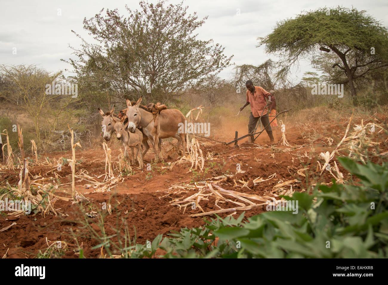 Un pequeño agricultor utiliza burros para arar su campo en el condado de Makueni, Kenia, África Oriental. Imagen De Stock