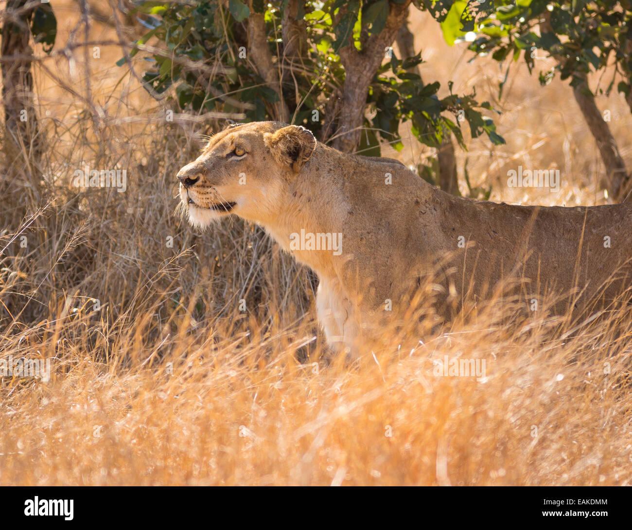 El Parque Nacional Kruger, Sudáfrica - Lavica acechar presas en la hierba alta durante la caza. Foto de stock