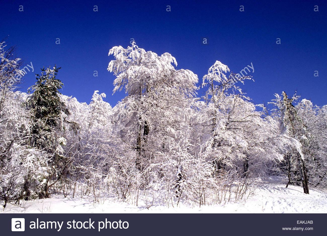 Árboles cubiertos de nieve en las montañas de los Vosgos, Haut-Rhin, Alsacia. Imagen De Stock