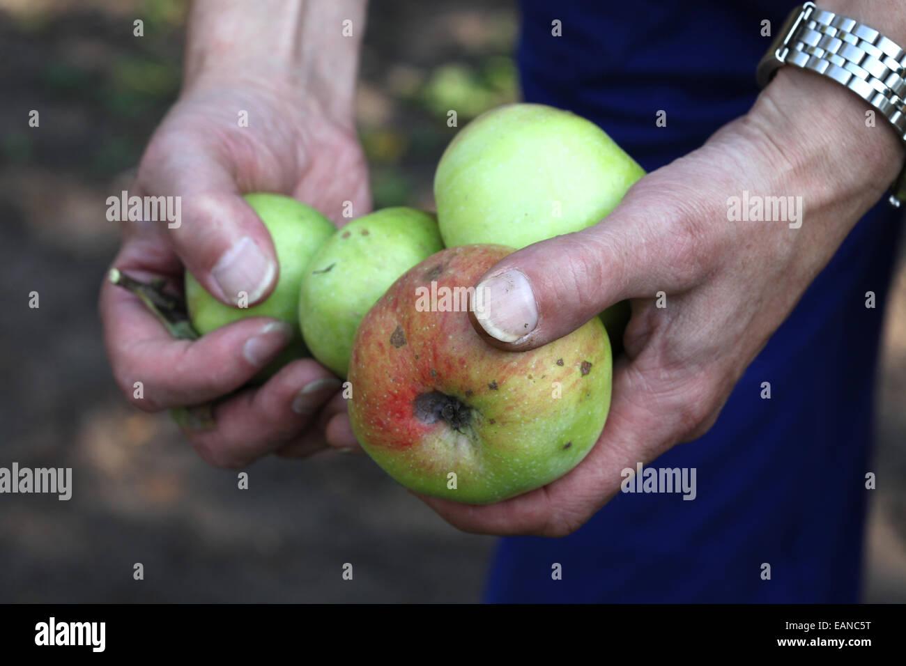 Close-up de manos cosechando manzanas en un proyecto de horticultura urbana Imagen De Stock