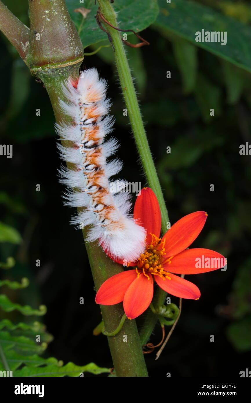 Naranja y blanco de un difuso caterpillar en una floración de plantas del bosque nuboso. Imagen De Stock