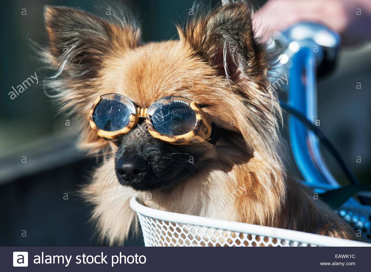 9909394627 Un perro Papillon con la prescripción de gafas de sol se sienta en una  bicicleta cesta