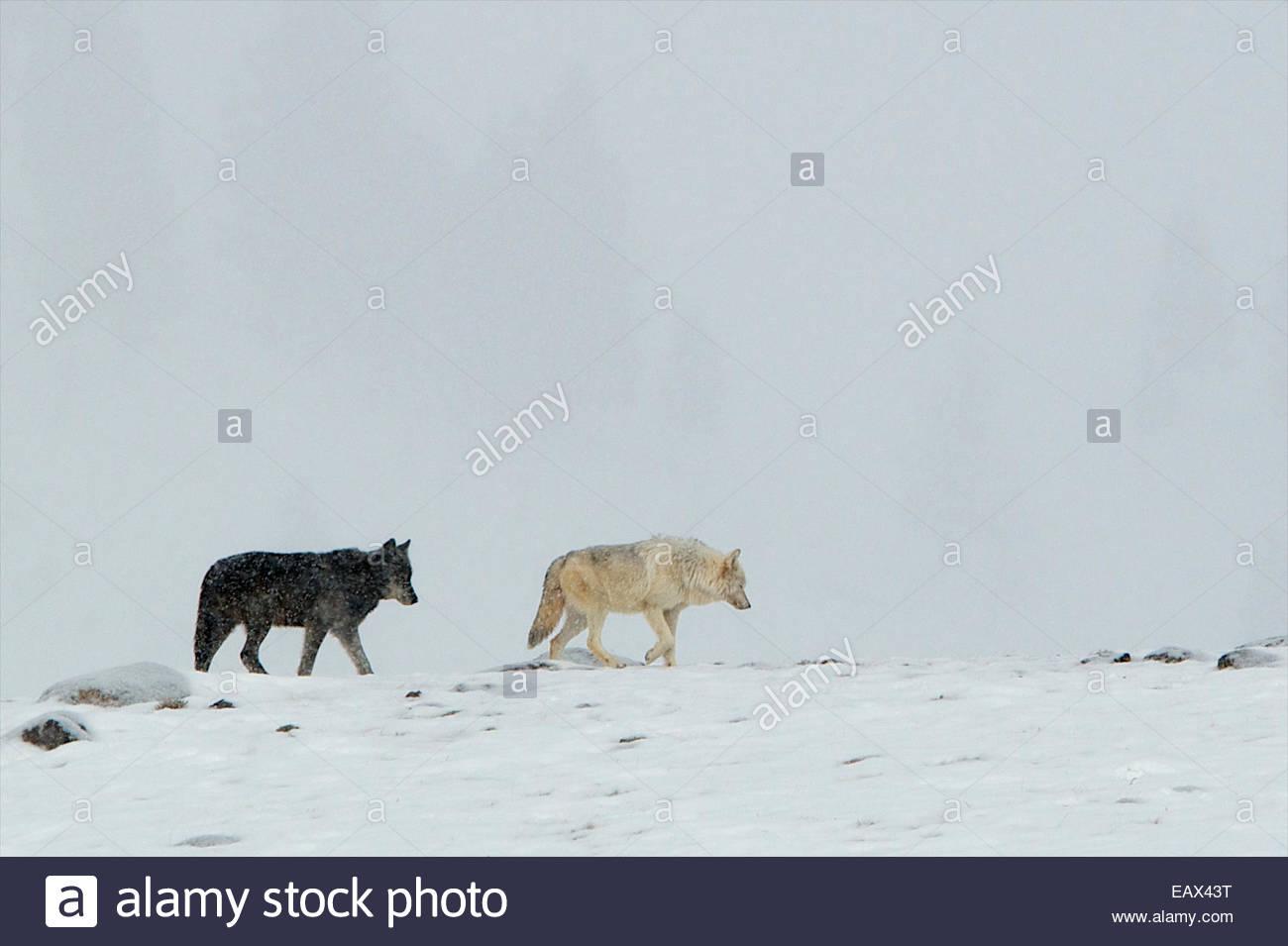 Un lobo blanco y negro caminar por la cresta en una tormenta de nieve. Imagen De Stock