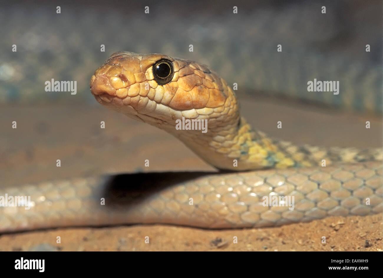 Braid, serpiente Coluber rhodorhachis Imagen De Stock