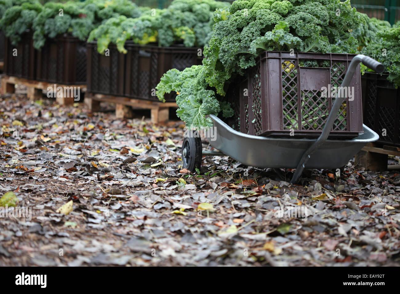 Close-up de la col rizada cosechadas en una carretilla de plantas cultivadas en cajas en un proyecto de horticultura Foto de stock
