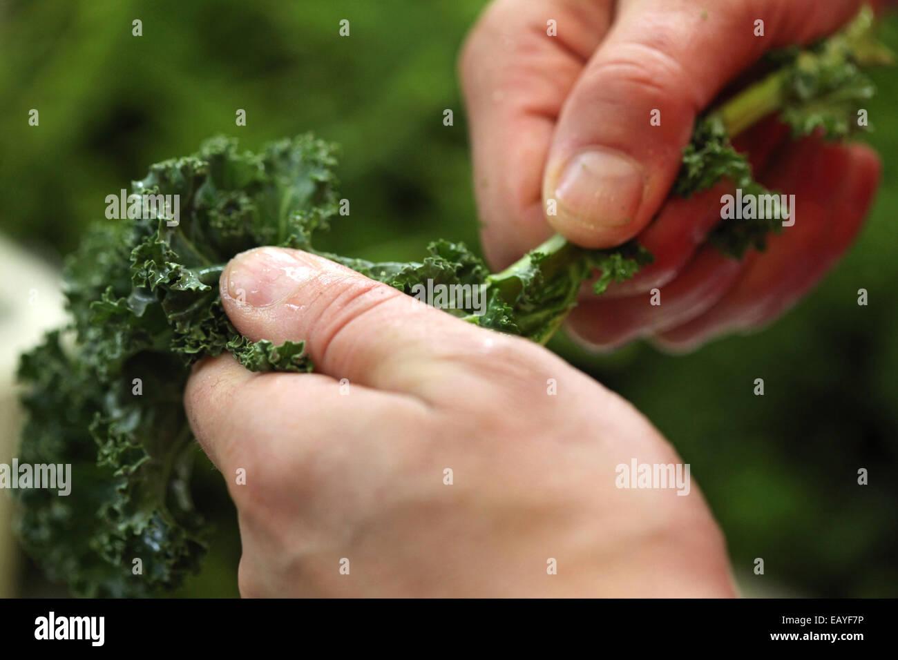 Close-up de manos la preparación de la col rizada para una comida. Imagen De Stock