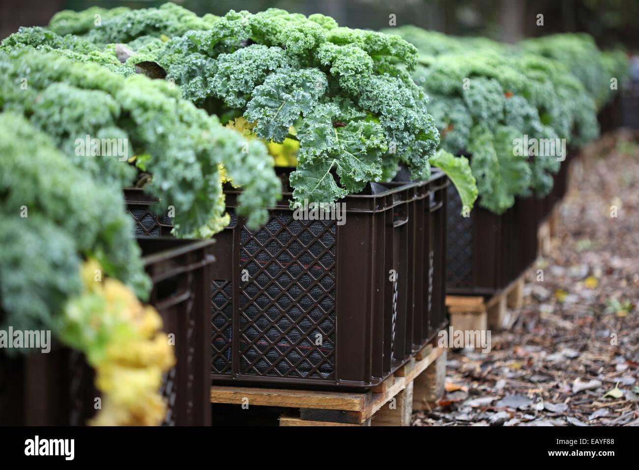 Close-up de la col rizada salmón en planta de cajas en un proyecto de horticultura urbana en Alemania Foto de stock