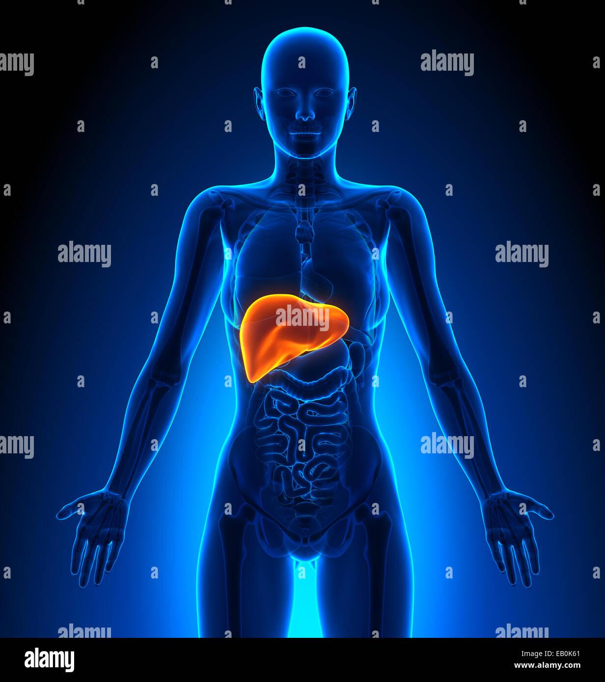 Hígado: órganos femeninos - Anatomía Humana Foto & Imagen De Stock ...