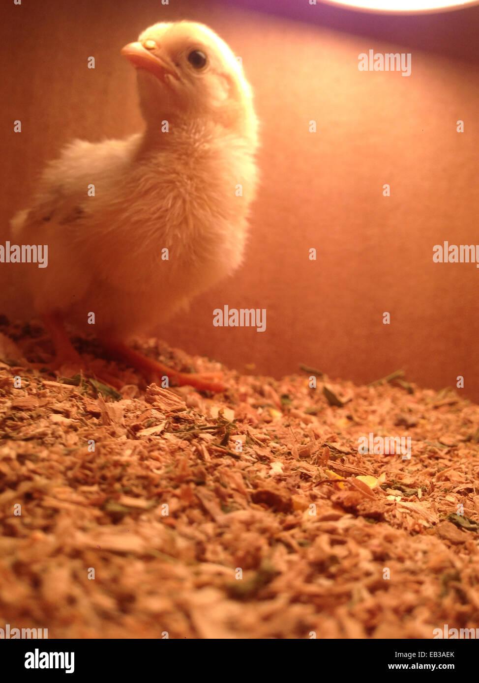 Chick sentados bajo la luz de calentamiento en la casilla Foto de stock