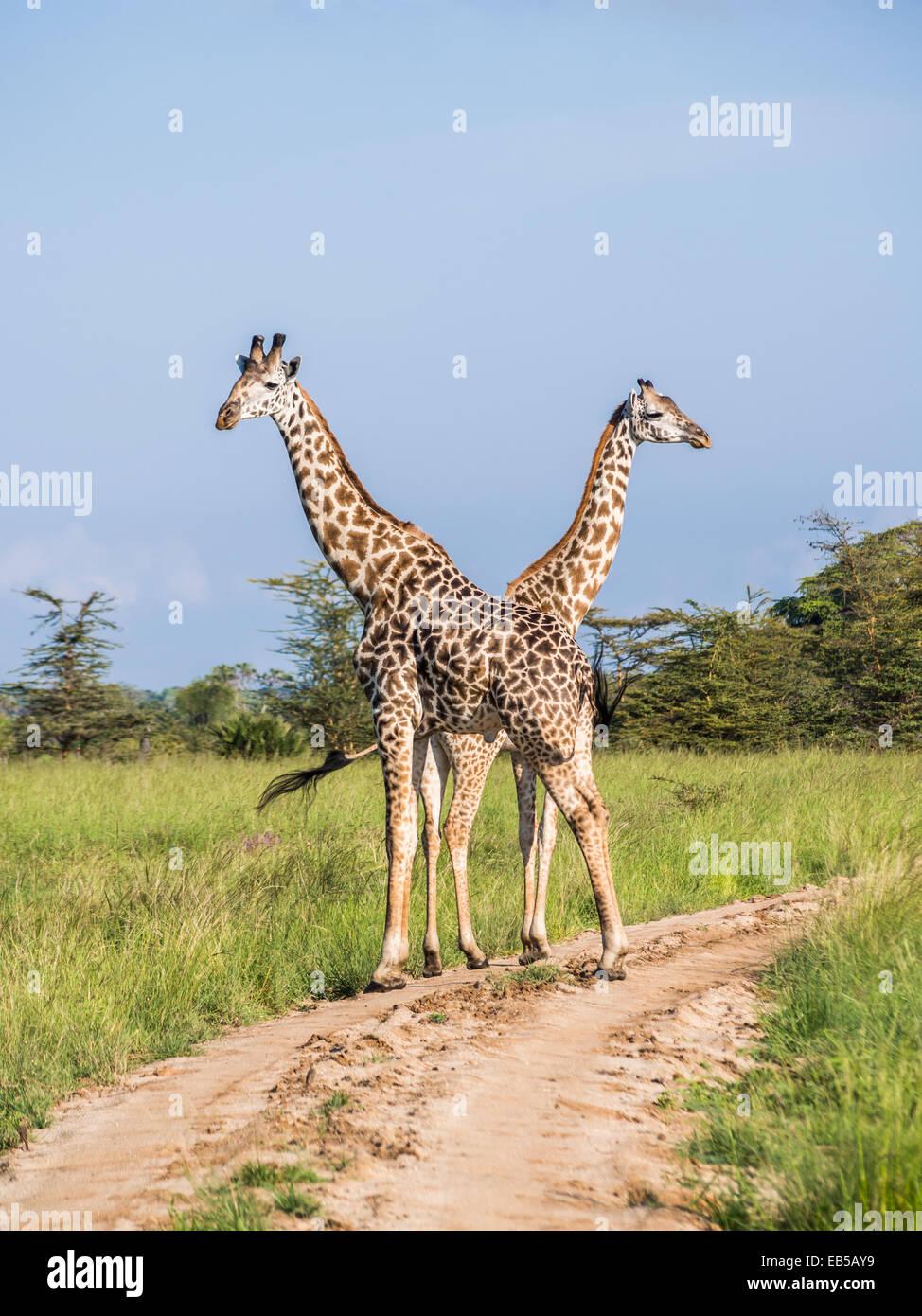 Dos jirafas cruzando una carretera en la sabana de safari en el Parque Nacional de Serengeti, en Tanzania, África. Foto de stock