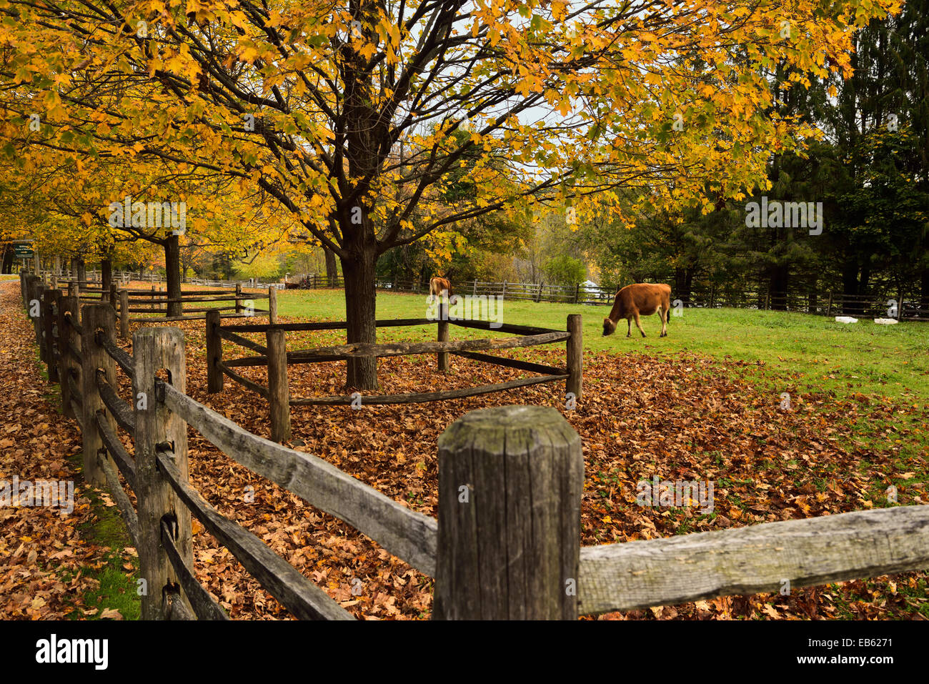 Las vacas lecheras en el paddock en billings farm y el museo en el otoño en Woodstock Vermont, EE.UU. Imagen De Stock