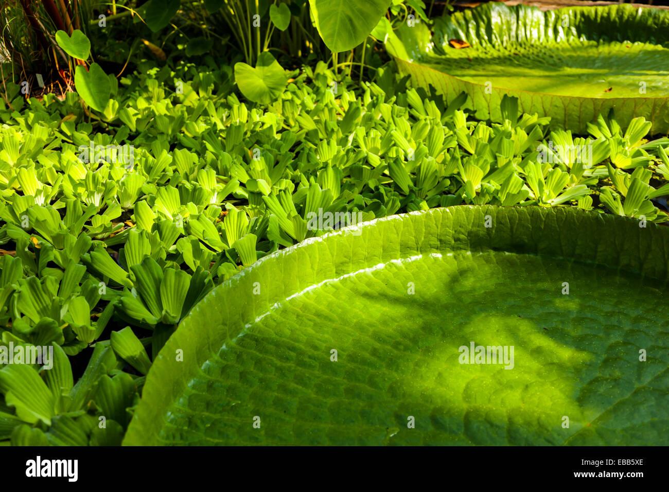 Victoria amazonica hoja de lirio gigante Imagen De Stock