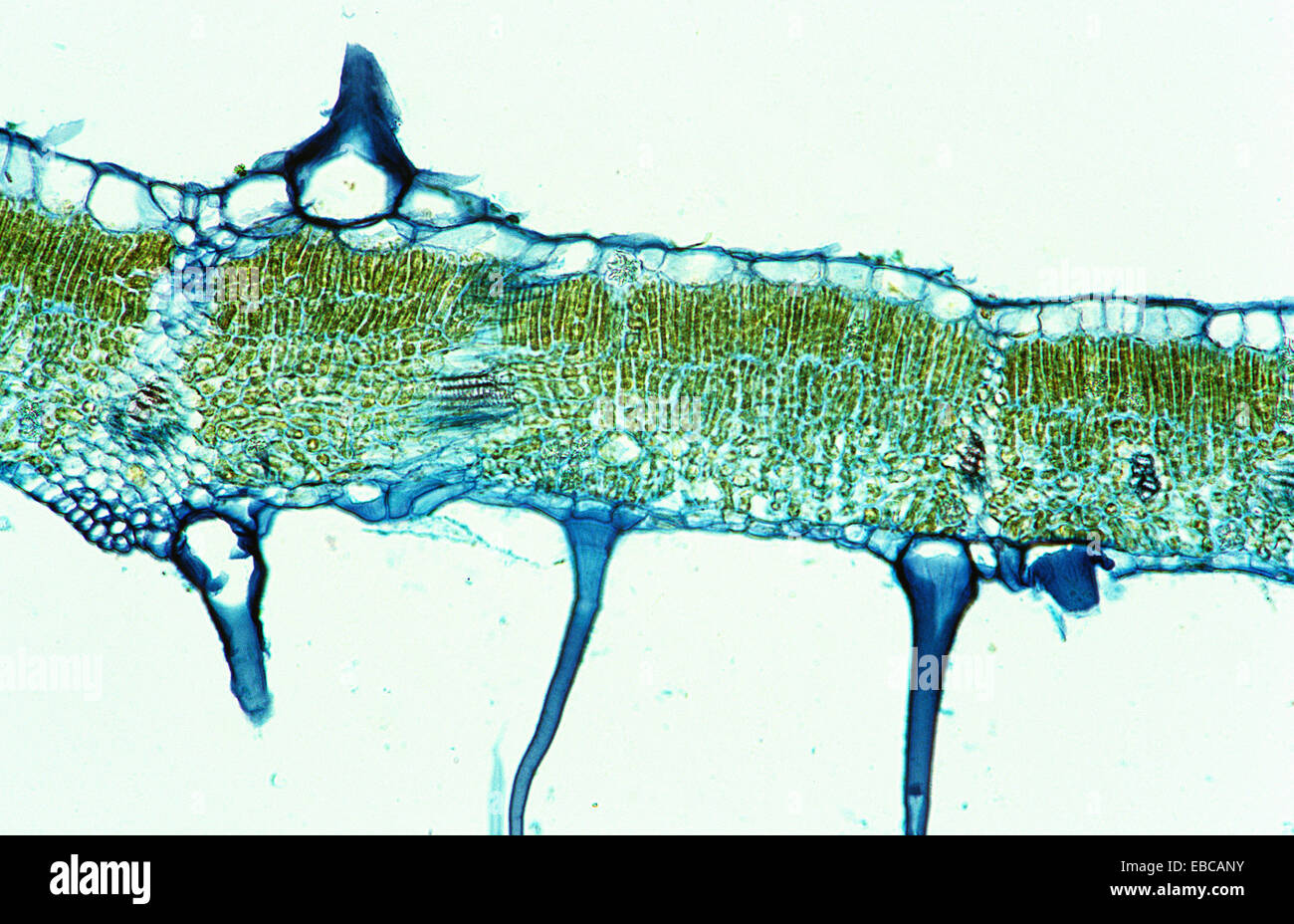 Hoja de ficus elastica, Moraceae, tricoma, 200 x Microscopio óptico ...