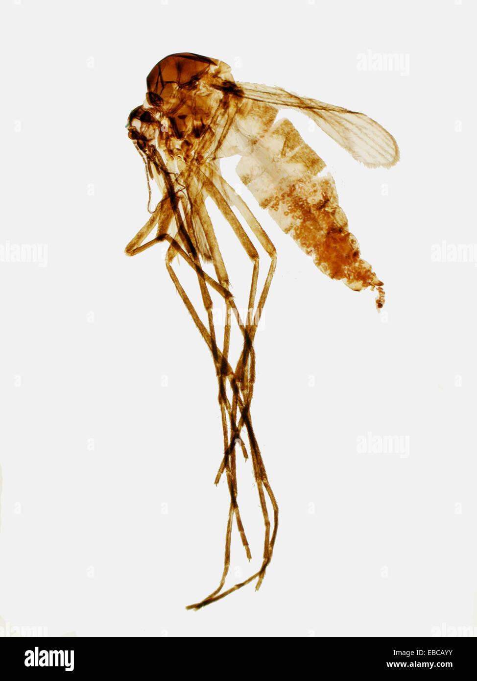 Mosquito adulto, hembra, Culex sp , Culicidae, microscopio óptico ...