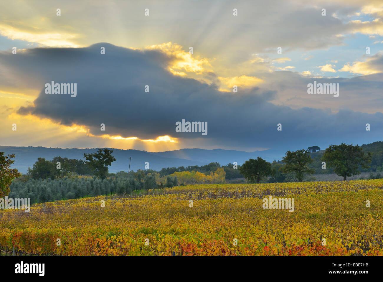 Paisaje con viñedos en otoño, Montalcino, provincia de Siena, Toscana, Italia Foto de stock