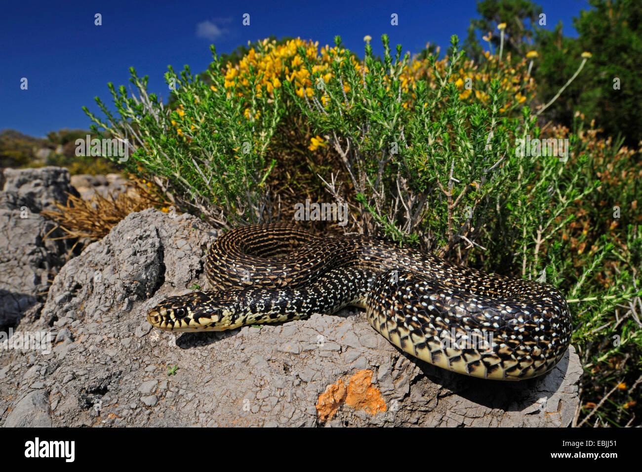 Látigo de serpiente (Hierophis balcánica, Coluber gemonensis gemonensis), tomar el sol en una roca, Grecia, Imagen De Stock