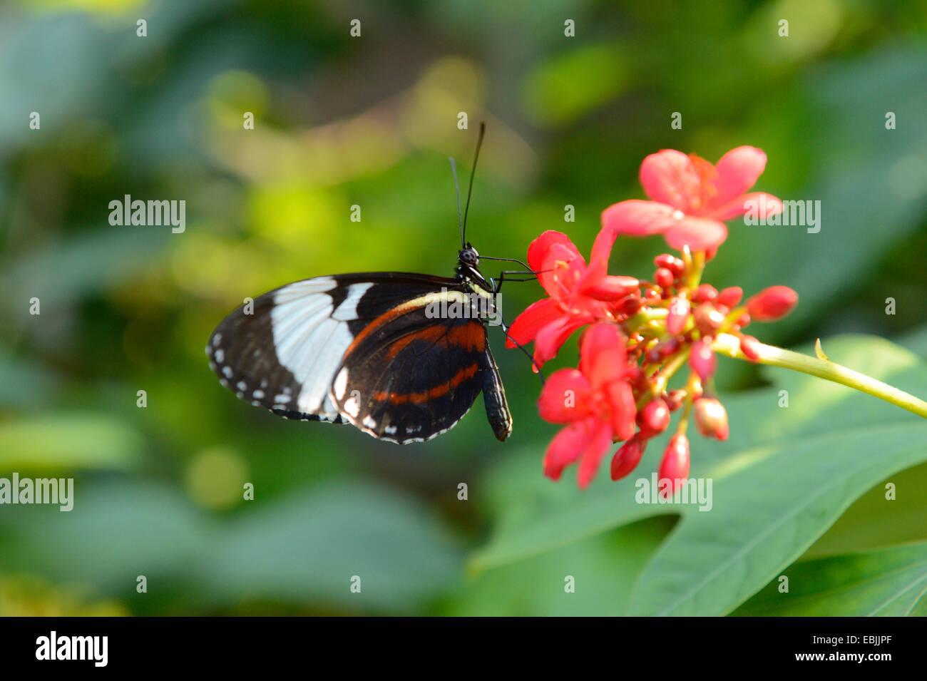 Cydno Longwing (Heliconius cydno), succionar el néctar de las flores rojas Foto de stock