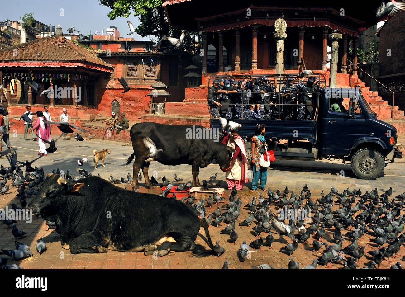 El ganado doméstico (Bos primigenius f. taurus), templo de Durbar Square rodeado de muchas personas, algunas vacas, innumerables palomas y una patrulla de la policía que pasaba, Nepal, Katmandú Foto de stock