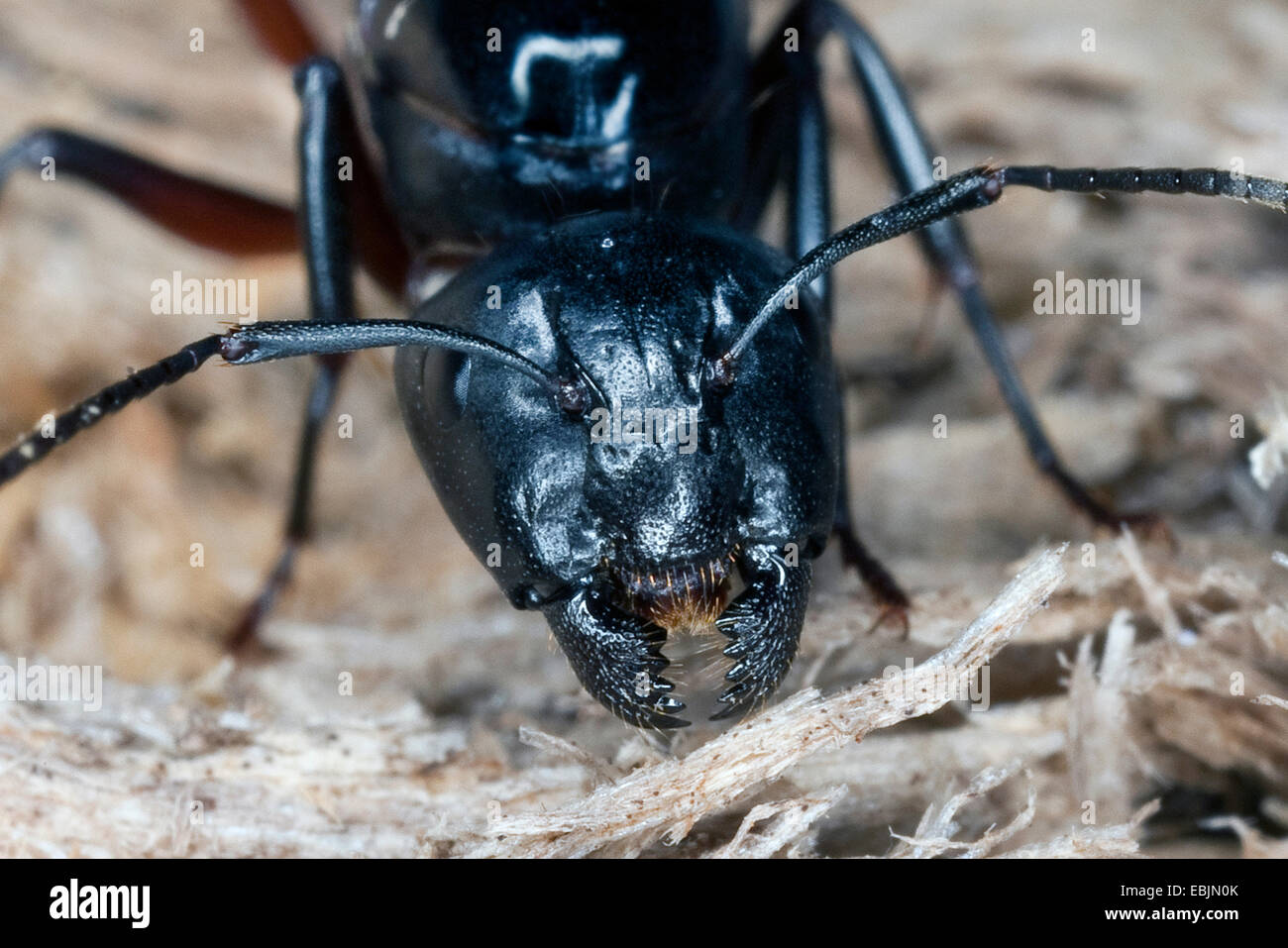 Carpenter ant (siendo Camponotus ligniperdus, siendo Camponotus ligniperda), reina alimentándose de madera podrida, Alemania Foto de stock