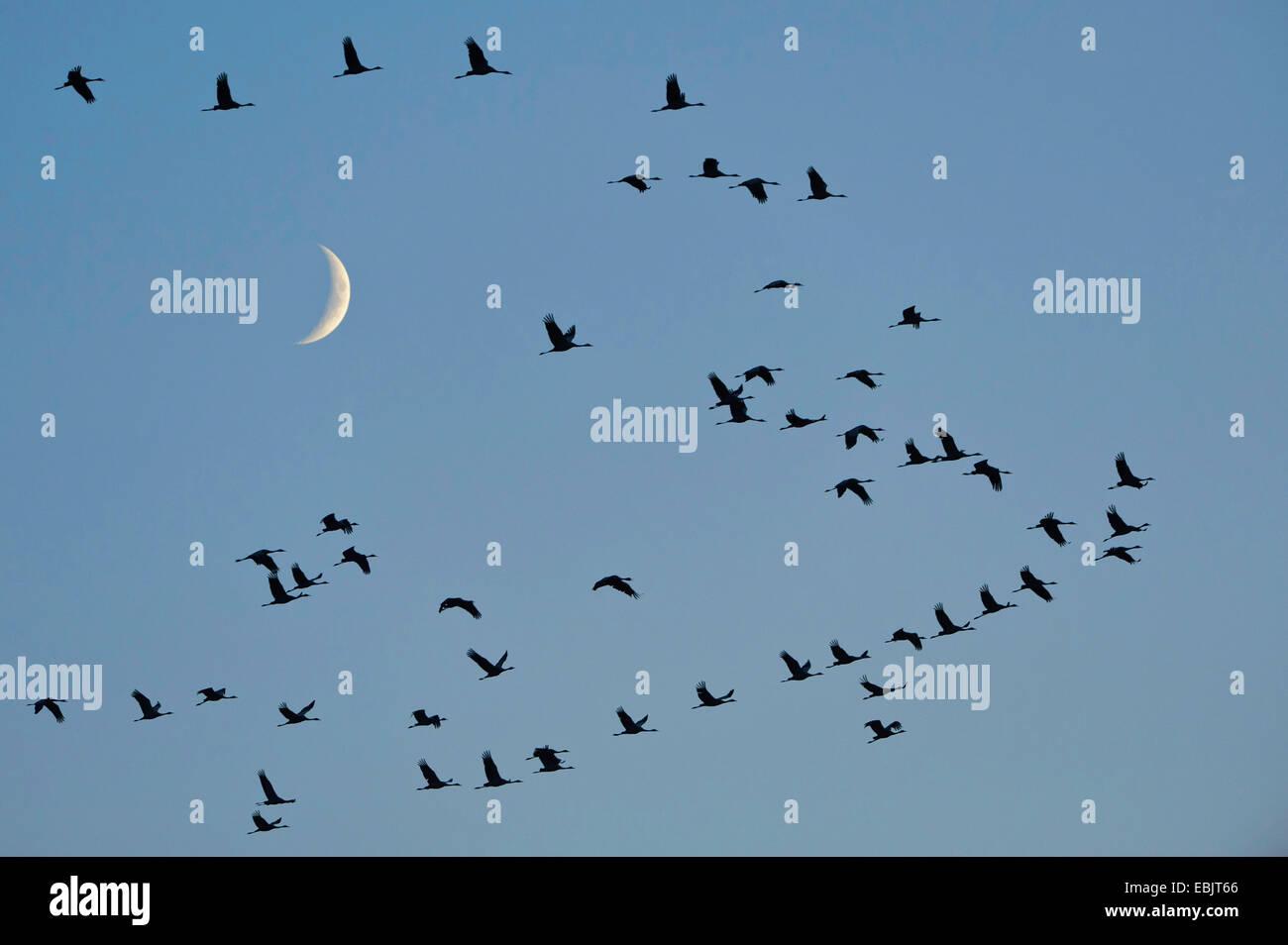 Grulla común euroasiático, grulla (Grus grus), la migración de las aves delante de la luna, en Alemania, en la Baja Sajonia Foto de stock