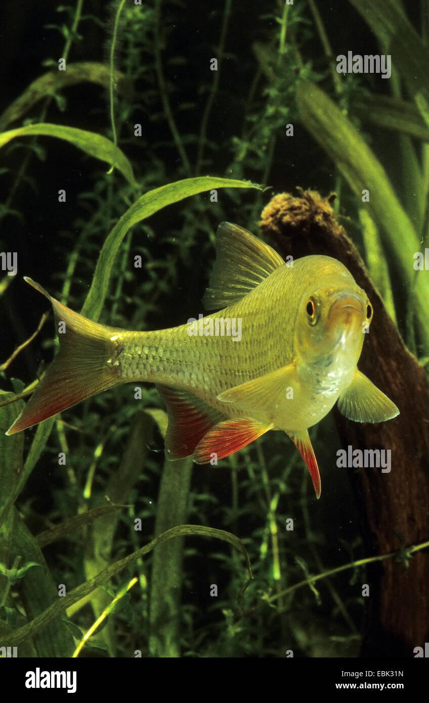 Scardinius erythrophthalmus (Rudd), bajo el agua, Alemania Imagen De Stock
