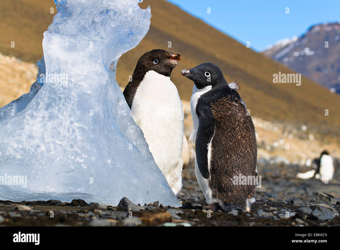 Pingüinos Adelia (Pygoscelis adeliae), dos jóvenes pingüinos Adelie muda, la Antártida, Isla Imagen De Stock
