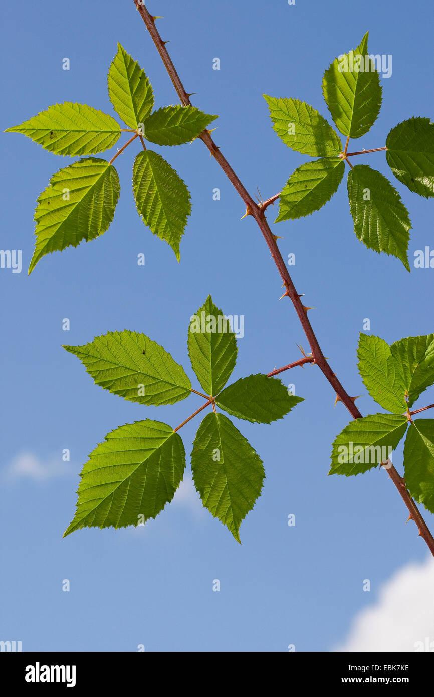 Planta arbustiva de blackberry, médicos, plantas medicinales, plantas medicinales, plantas medicinales, herboristería, Imagen De Stock