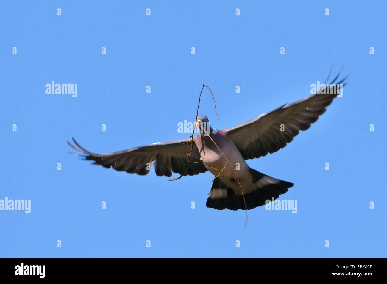 La paloma torcaz (Columba palumbus), la paloma de la paz con la rama en el pico, Alemania Imagen De Stock
