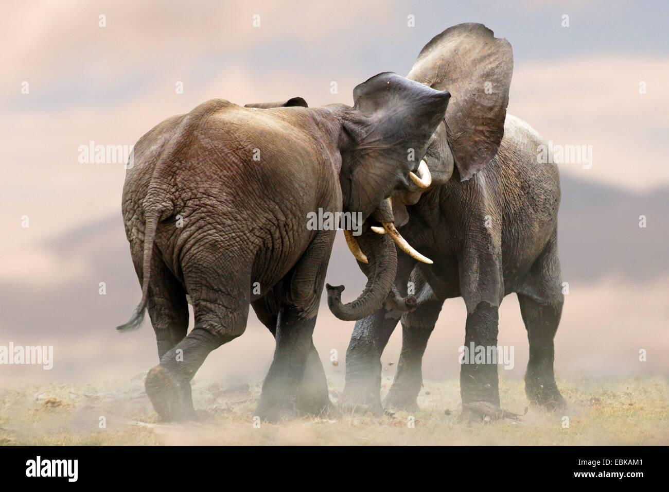 Elefante africano (Loxodonta africana), dos elefantes refriega juntos, Kenya, el Parque Nacional de Amboseli Imagen De Stock