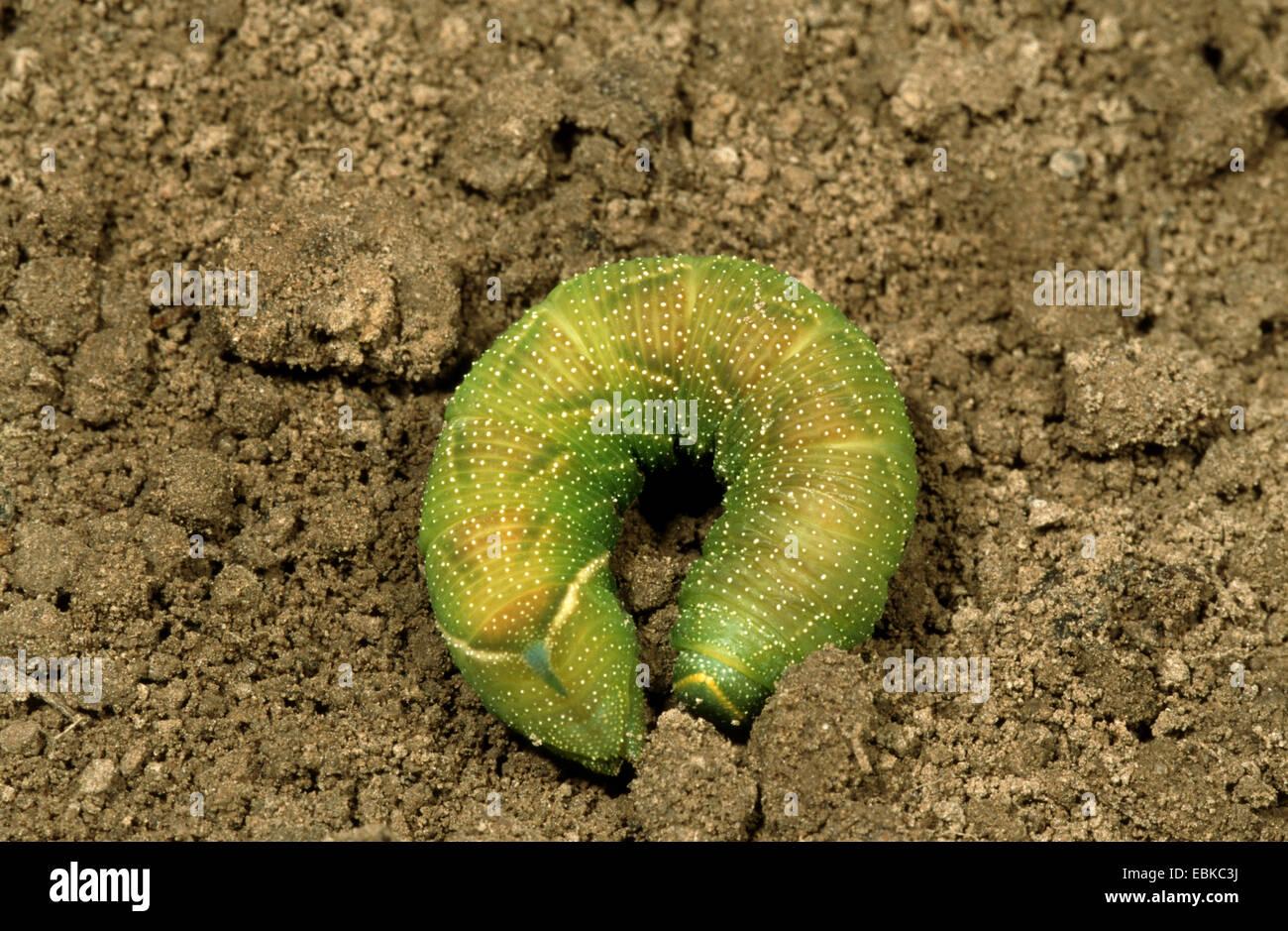 Eyed hawkmoth (Smerinthus ocellata), Caterpillar cavando para pupating, Alemania Foto de stock