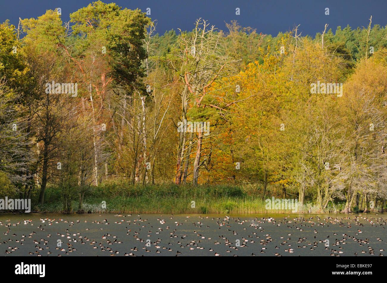 Descansando patos en un lago en la tormentosa atmósfera, Alemania Imagen De Stock