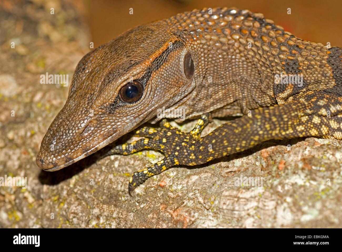 Áspero-necked monitor, Árbol, Arlequín lagarto monitor (Varanus rudicollis), Retrato Imagen De Stock