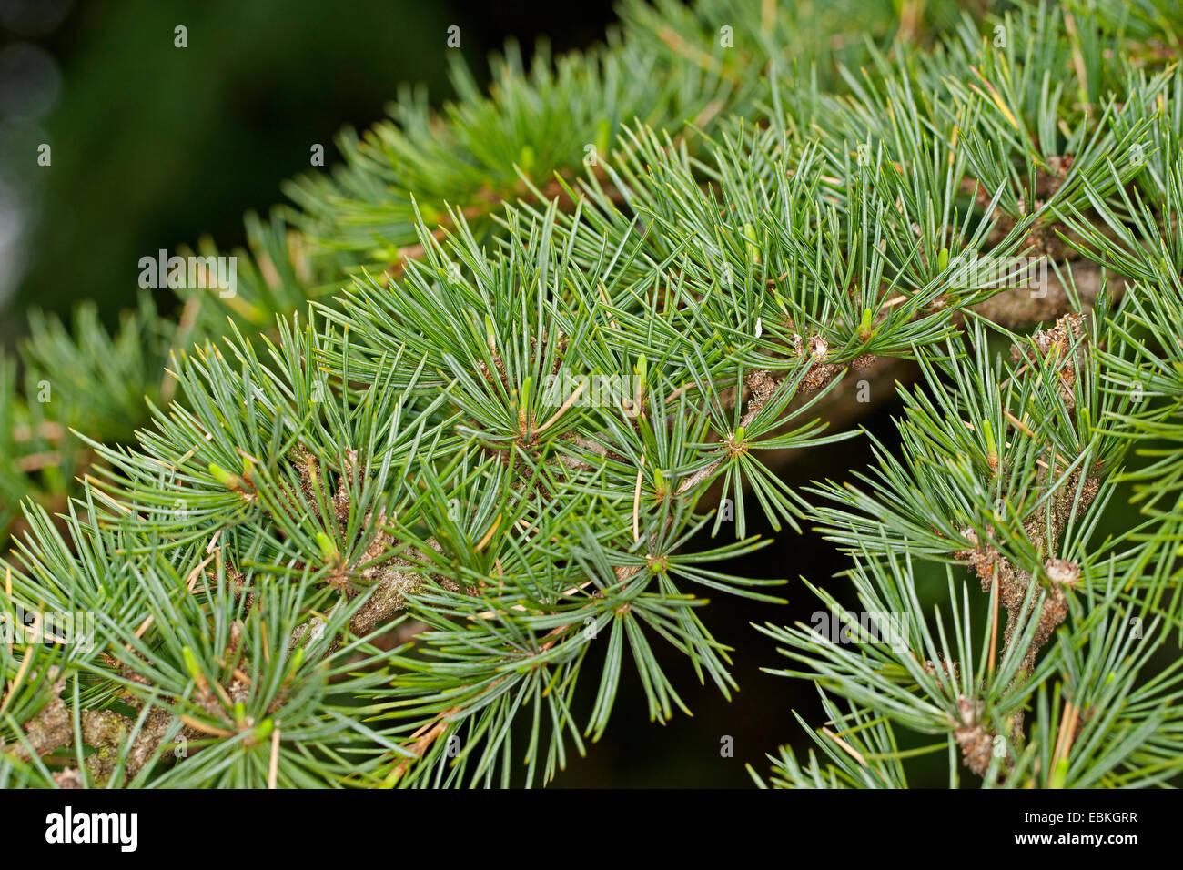 El cedro del Líbano, el cedro del Líbano (Cedrus libani, Cedrus libanotica), rama Imagen De Stock