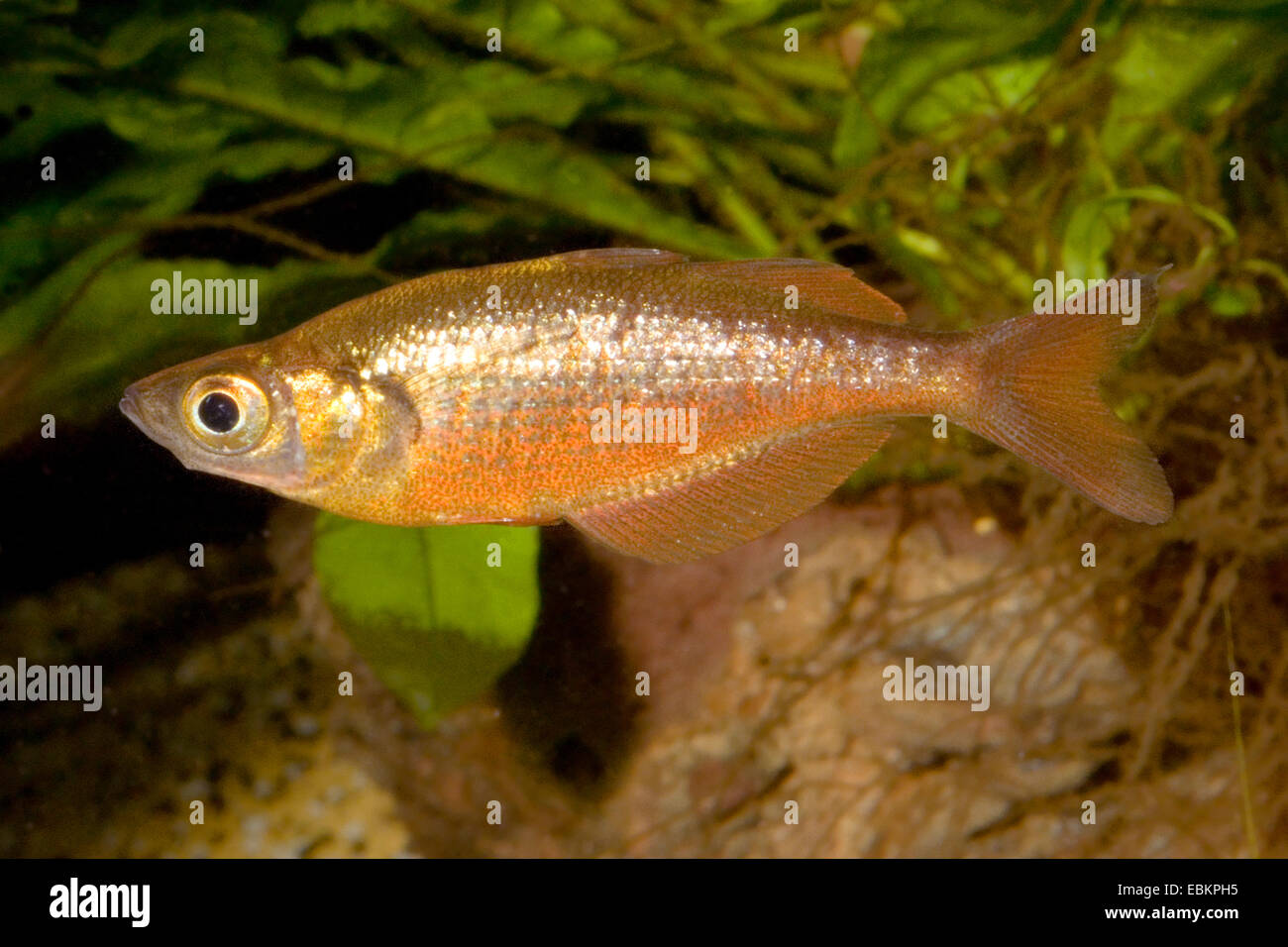Rojo, Rojo Salmón Rainbowfish rainbowfish (Glossolepis incisus), hembra, KZLU1007 Imagen De Stock