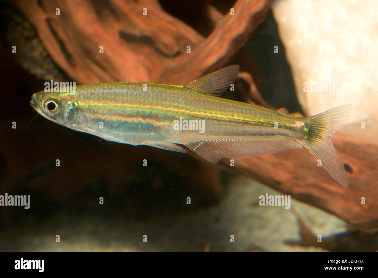 Slender tetra (Iguanodectes spilurus), retrato de longitud completa Imagen De Stock