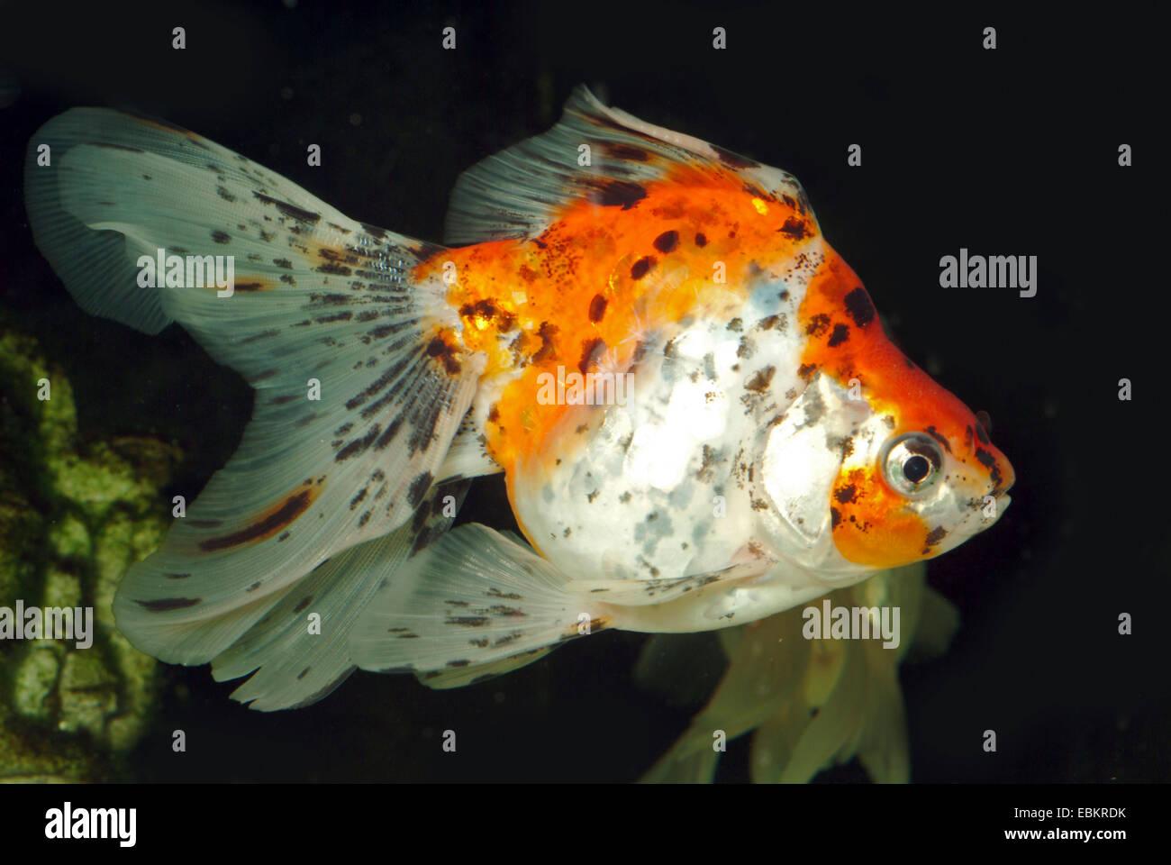 Common carp carassius auratus im genes de stock common for Criadero de peces goldfish