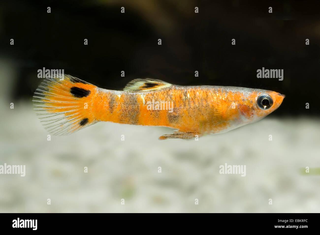 Mini bandas negras (Micropoecilia picta), natación Imagen De Stock