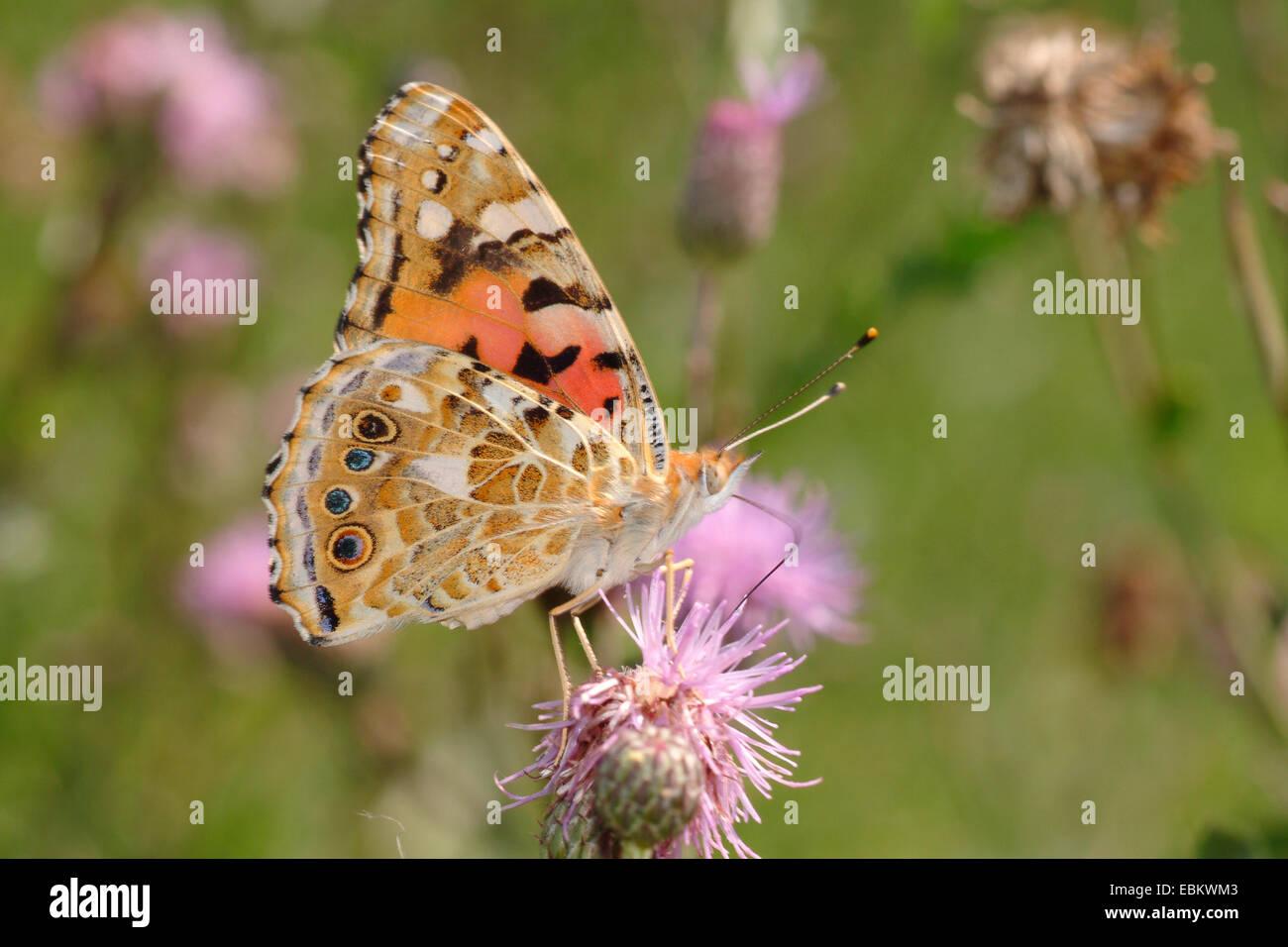 Painted Lady, thistle (Cynthia cardui, Vanessa cardui), chupando el néctar de un cardo, Alemania Foto de stock