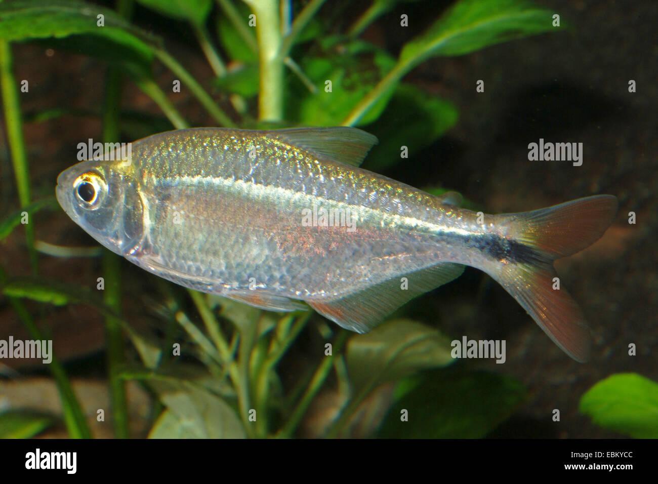 Tetra plateadas, en bandas Astyanax (Astyanax fasciatus), natación Imagen De Stock