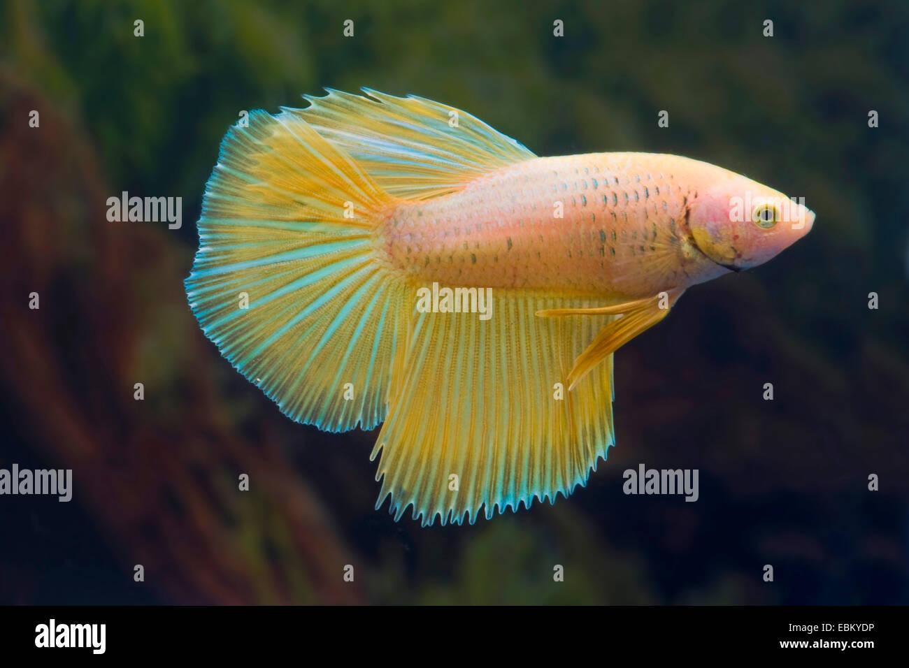 La lucha contra los peces siameses, Siameses fighter (Betta splendens), raza albaricoque Imagen De Stock