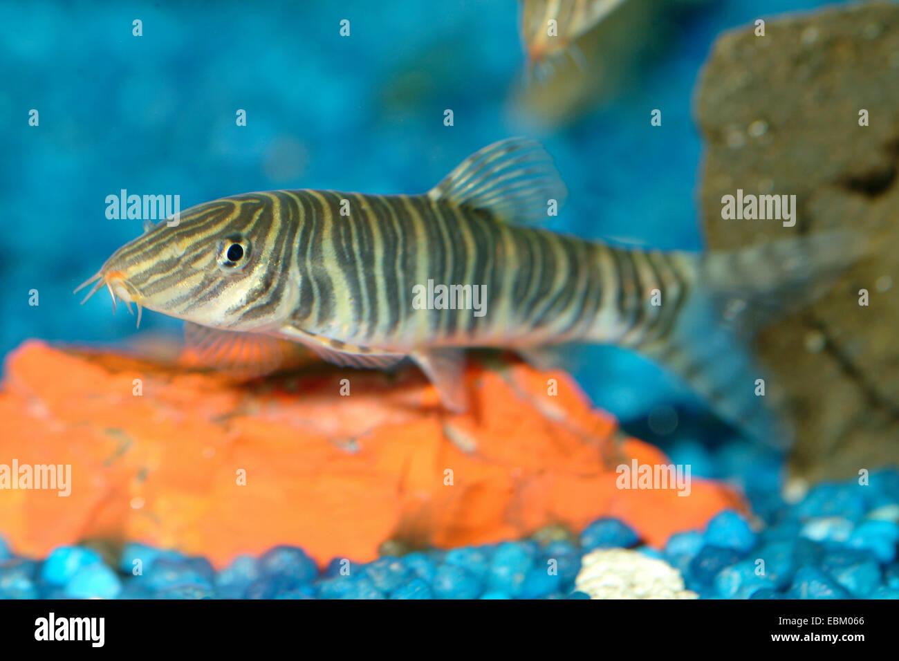 Loach (bandas Botia striata), en el acuario Imagen De Stock