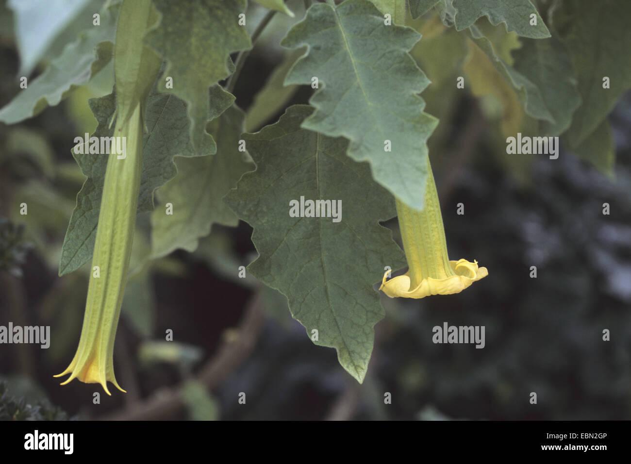 "Angel's Trumpet tree (Brugmansia sanguinea ""Oro Verde"", Brugmansia sanguinea Oro Verde), flores Imagen De Stock"