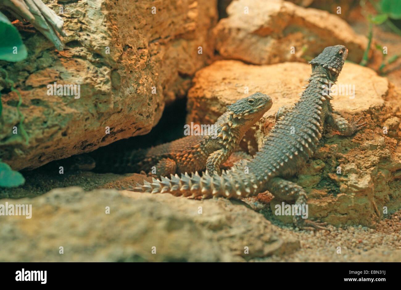 Sungazer, rodeado gigante lagarto gigante, gigante lagarto spinytail zonure (Cordylus giganteus), dos reptiles sentados Imagen De Stock